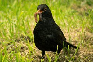 black-bird-1355556_1920 (800x534)