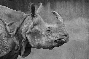 rhino-1118684_1920-800x534