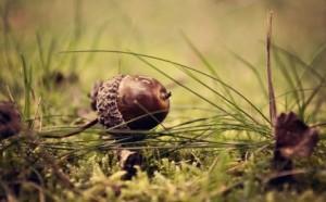 Filbert acorn