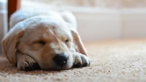 dog_puppy_snout_sleep_89809_1920x1080 (640x360)