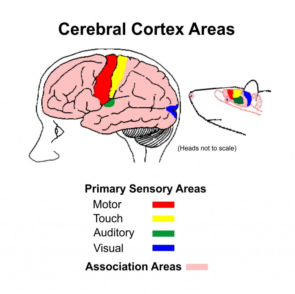 Caparison of association cortex between human and rat brains.