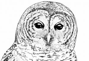 Barred Owl for NY DEC