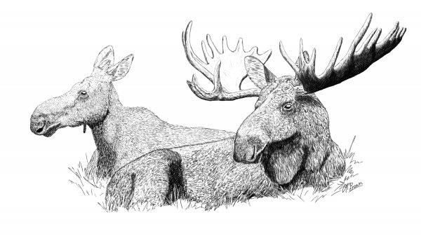 Moose Pen & Ink Compressed