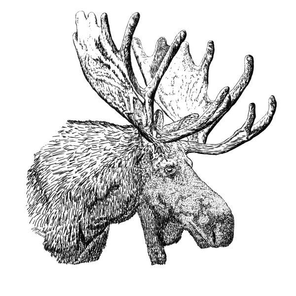 Bull Moose Head Pen & Ink Comp