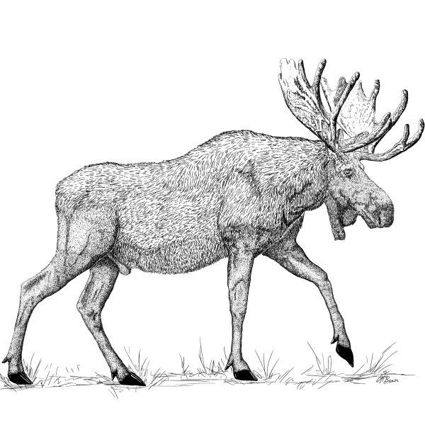 Bull Moose Pen & Ink Comp