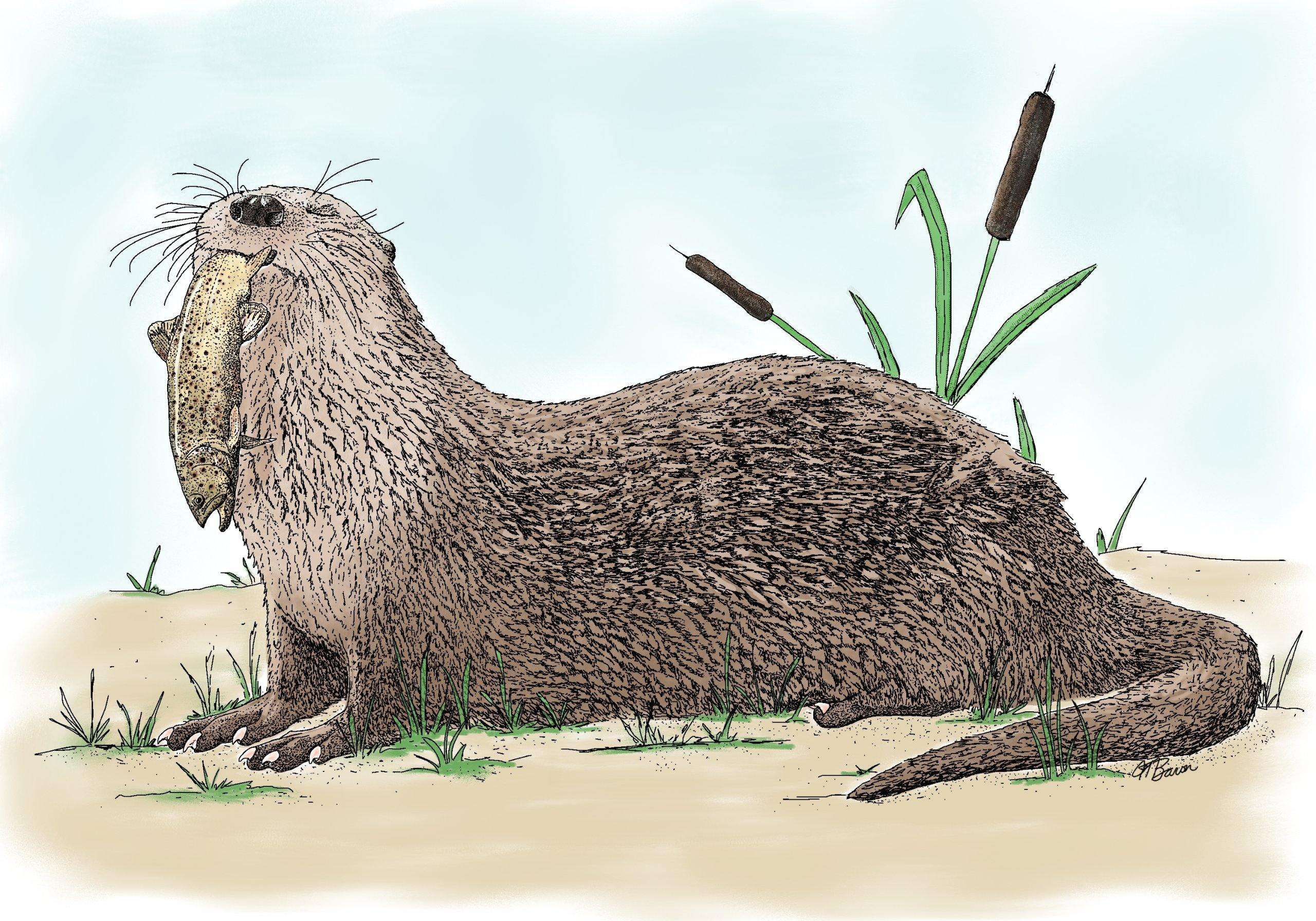 Colored pen and ink drawing of an American River Otter happily holding a Brown Trout in its mouth.