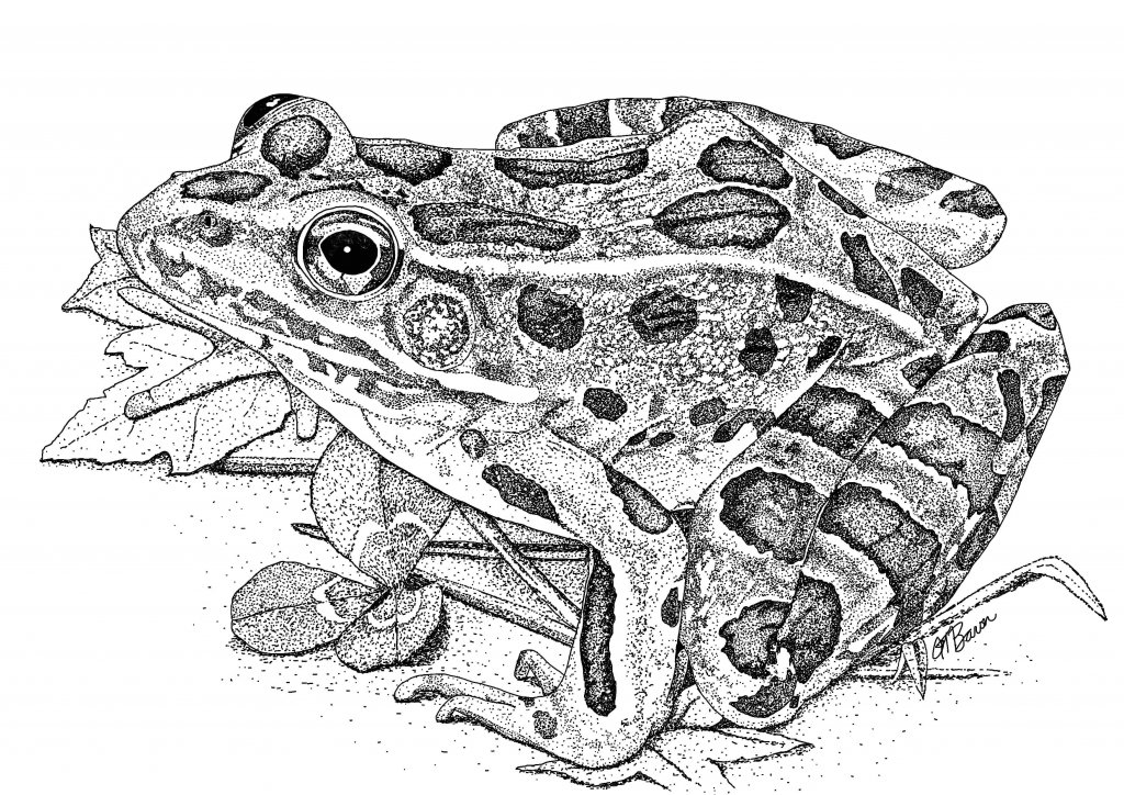 Northern Leopard Frog for NY DEC