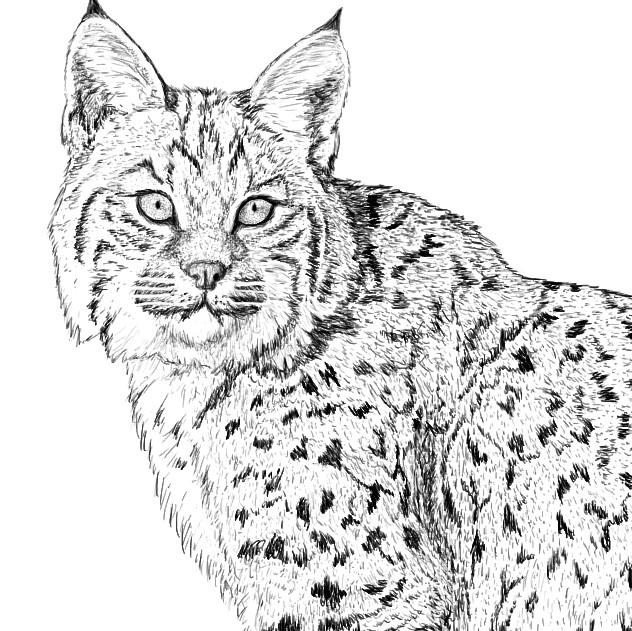 Bobcat for NY DEC